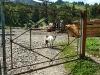 Обережно! У дворі зла коза