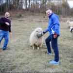 Фотосет з вівцями